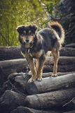 Attentive miserable dog. Curious attentive miserable dog chained on a pile of wood in the backyard royalty free stock photos