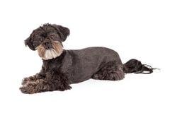 Attentive Mixed Breed Small Dog Laying Stock Photo