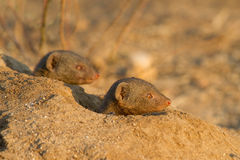 Attentive mongooses Royalty Free Stock Photography