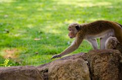 Attentive monkey Royalty Free Stock Photo