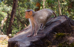 Attentive Monkey. A Monkey ready to pounce and is attentive for any danger Royalty Free Stock Photography
