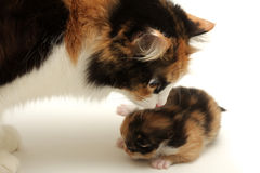Attentive mother with kitten Royalty Free Stock Image