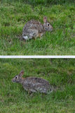 Attentive Mother. A wild mother rabbit sitting next to her rabbit burrow and babies Royalty Free Stock Images