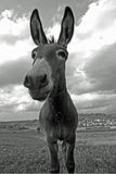 Attentive mule Stock Photography