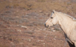 Attentive Palomino horse Stock Images