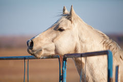 Attentive Palomino horse. Head and shoulder profile shot of palomino horse in an attentive mode leaning over a corral Stock Image