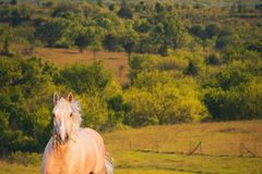 Furious Palomino horse. Horizontal image of furious palomino horse with grass in his mouth in a field during sunset. Image taken after horse established Stock Photos
