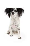 Attentive Papillon Mixed Breed Dog Royalty Free Stock Photography