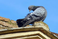 Wild bird. Attentive pigeon (dove) royalty free stock images
