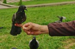 Attentive pigeon Stock Photos