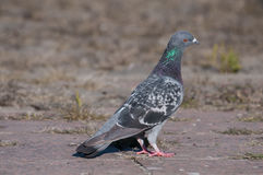 Attentive pigeon looking to the right Royalty Free Stock Image