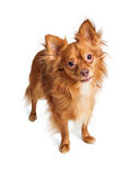 Attentive Pomeranian Crossbreed Looking Forward Royalty Free Stock Images