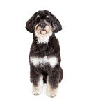 Attentive Poodle Mix Breed Dog Sitting Royalty Free Stock Images