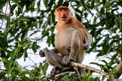 Attentive proboscis monkey on alert Stock Photos