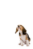 Attentive puppy. Cute young beagle pup looking up on white background Royalty Free Stock Photo