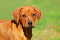 Rhodesian Ridgeback dog puppy Stock Photos