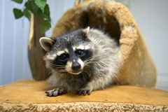 Attentive raccoon. Funny raccoon looks at the frame Royalty Free Stock Image