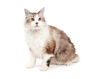 Attentive Ragdoll Cat Sitiing Stock Photography