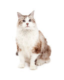 Attentive Ragdoll Cat Sitting While Looking Forward Royalty Free Stock Image