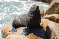 Attentive seal on rock. Seal watching attentively from his rock.  Cabo Polonio.  Uruguay Royalty Free Stock Photo