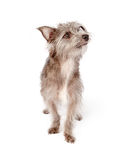 Attentive Shaggy Crossbreed Small Dog Stock Images