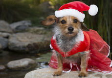Attentive Small Mixed Breed Dog With Lace Dress and Santa Hat. A very attentive small Mixed Breed Dog with red lace ress and Santa hat. Dog is sitting and royalty free stock images