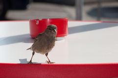 Attentive sparrow on a table. With an ashtray in backgrounds Royalty Free Stock Photography