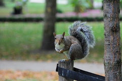 Attentive squirrel. An attentive squirrel in a london park stock images