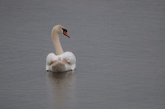 Attentive swan on the water surface Stock Image