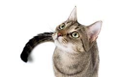 Attentive Tabby Stock Photo