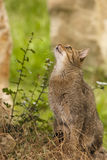 Attentive tabby cat / Felis catus outdoors Stock Images