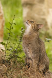 Attentive tabby cat / Felis catus outdoors Stock Image