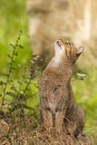 Attentive tabby cat / Felis catus outdoors Stock Photography