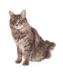Attentive Tabby Cat Sitting And Looking Into The Camera Royalty Free Stock Photography