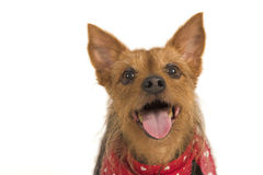 Attentive terrier. Smiling at camera, isolated over white Stock Photos