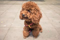 Attentive toy poodle sitting in street royalty free stock photos