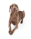Attentive Weimaraner Dog Laying Royalty Free Stock Images