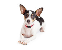 Attentive And Well Trained  Chihuahua Dog Laying Stock Photo