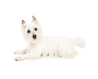 Attentive West Highland Terrier Dog Laying Stock Images