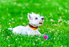 Attentive West highland white terrier with ball dog toy Royalty Free Stock Images