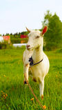 Attentive white goat with raised leg Royalty Free Stock Photo