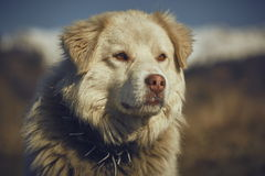 Attentive white sheepdog portrait Stock Photography