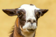 Attentive Wild Lama Camelid Looking At You Stock Photos