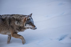 Attentive Wolf Royalty Free Stock Photos