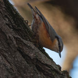 Attentive wood nuthatch on a tree Royalty Free Stock Photo