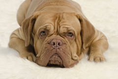 Attentive wrinkled dog looking at camera. Attentive wrinkled dog on white carpet Stock Images
