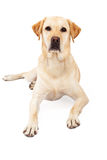 Attentive Yellow Labrador Retriever Laying Royalty Free Stock Photography