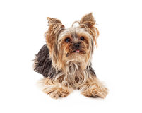 Attentive Yorkshire Terrier Dog Laying Looking Forward. A very attentive and focused Yorkshire Terrier dog laying and looking forward Stock Images