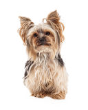 Attentive Yorkshire Terrier Dog Sitting Looking Forward Royalty Free Stock Photo
