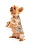 Attentive Yorkshire Terrier Puppy Begging Stock Images